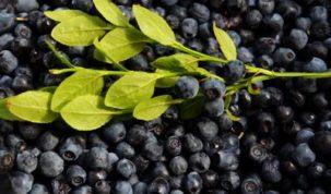 Is Bilberry Keto Ketoask Keto Ask Keto Diet Guide Keto Food Search
