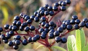 Are Elderberries Keto Ketoask Keto Ask Keto Diet Guide Keto Food Search