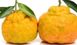 Is Ugli Fruit Keto Ketoask Keto Ask Keto Diet Guide Keto Food Search